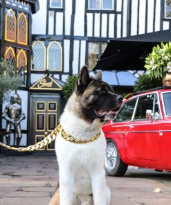 Gold XL Chain on American Akita outside Sheesh Chigwell
