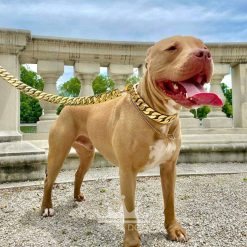 Champagne Pitbull Gold Collar and Lead