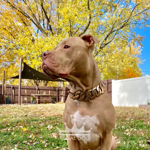 Pitbull with XL Rose Gold Chain Collar