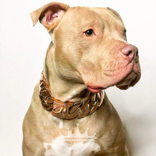 Champagne Pitbull with XL Rose Gold Chain