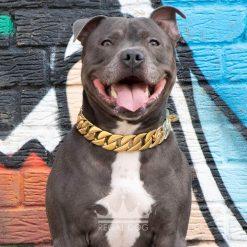 Blue Staffy Gold Chain Collar Graffiti