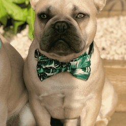 Tropical Bow Tie Dog Collar on a Fawn Frenchie