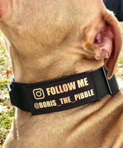 Champagne Pitbull with Black Tactical Collar and Follow Me Patch