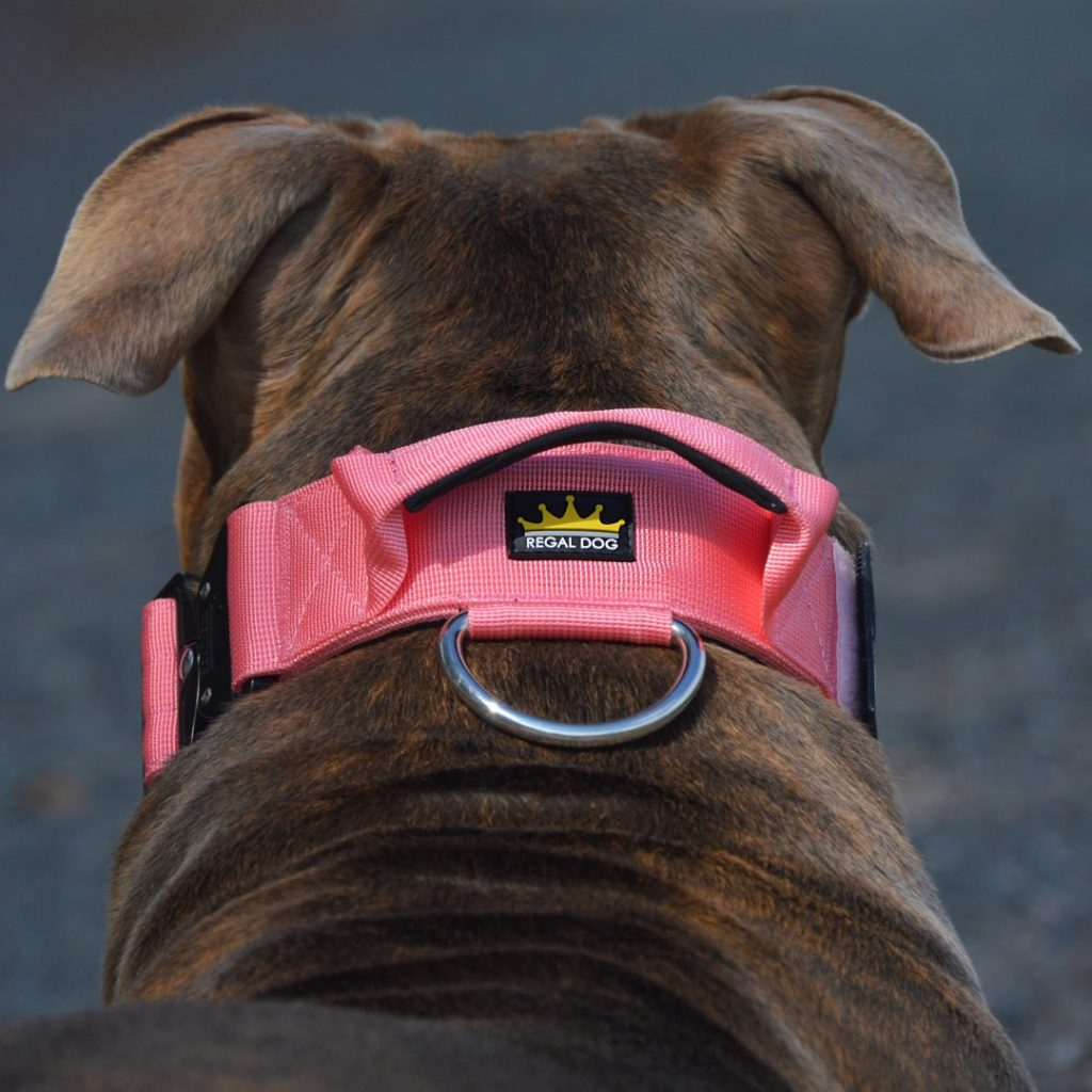 Pink Tactical Dog Collar on American Bully