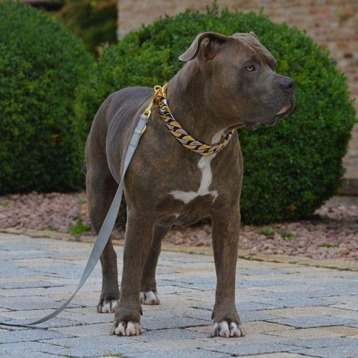 American Bully with Gold and silver chain collar