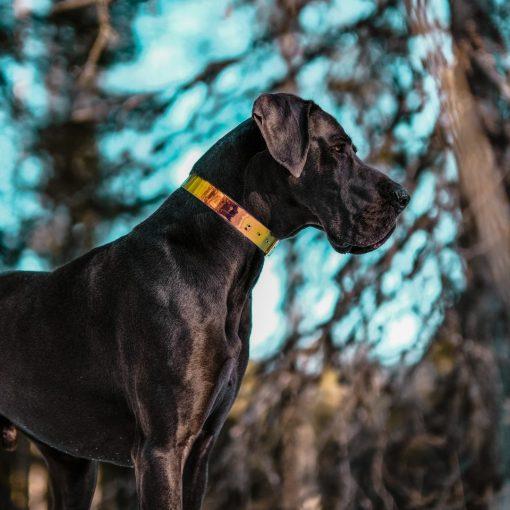 Great Dane with Iridescent collar