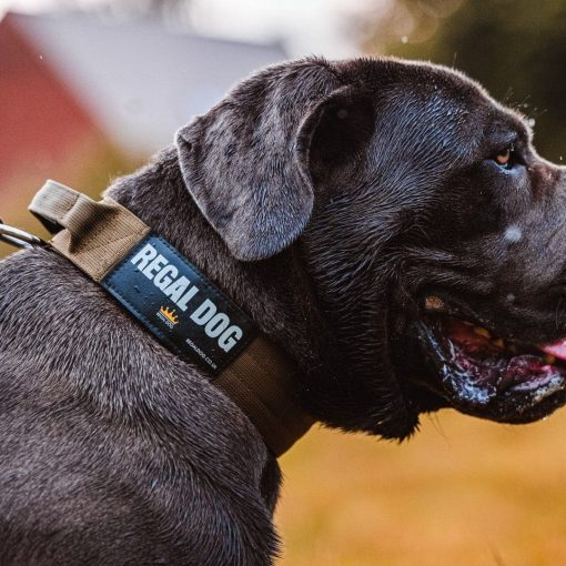 Khaki Tactical Dog Collar On Cane Corso