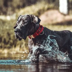 Red Tactical Dog Collar on Great Dane