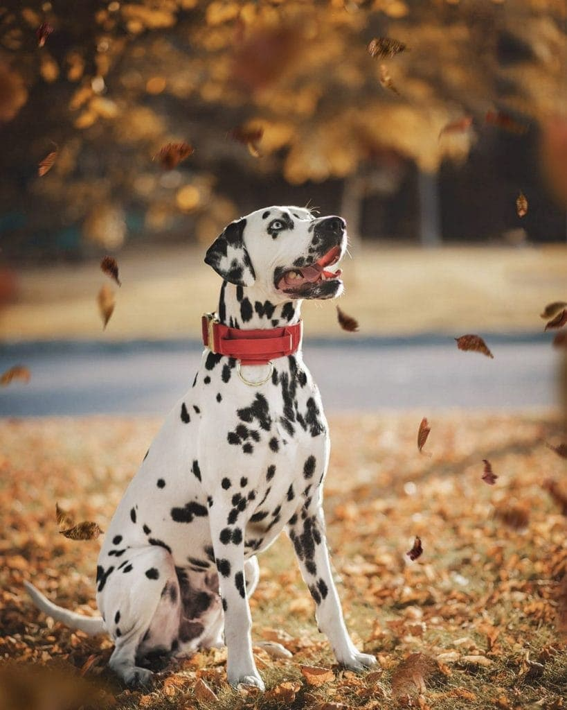 Dalmation with Red Dog Collar