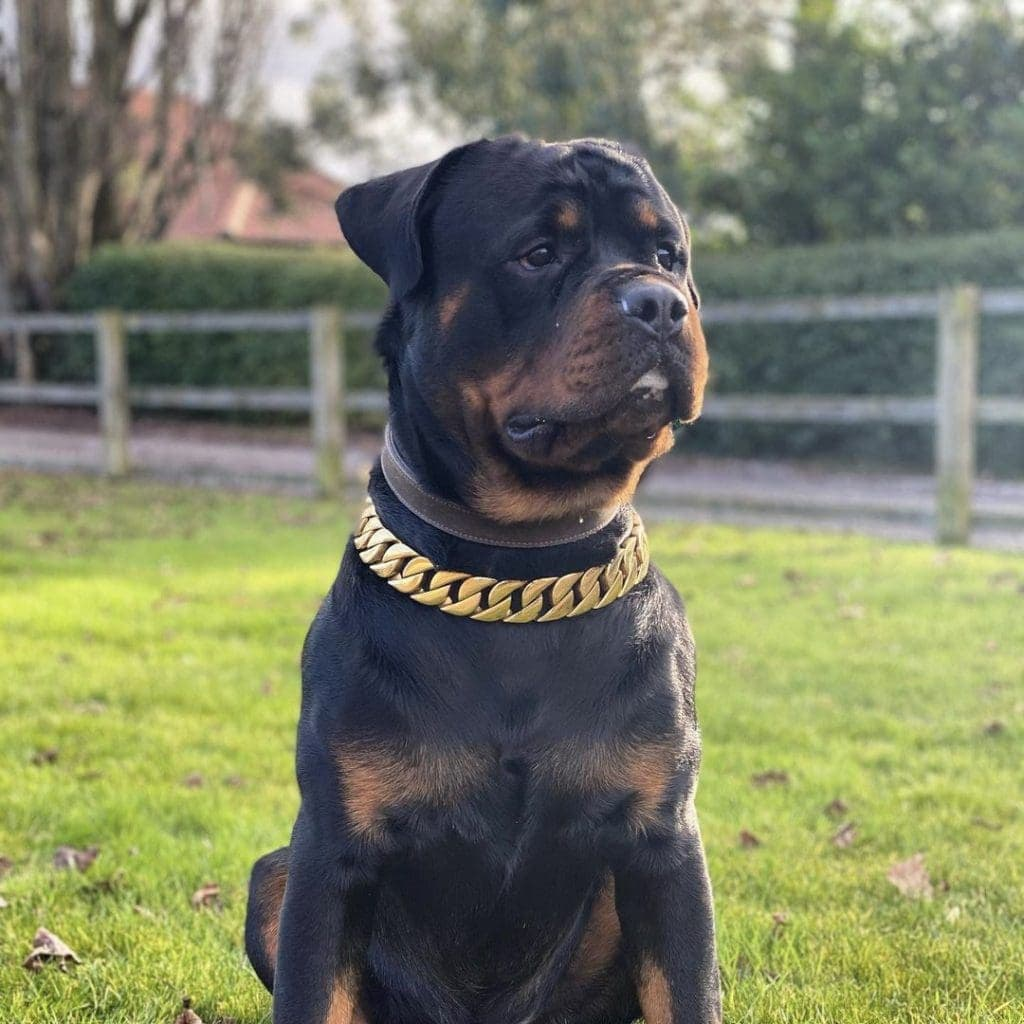 Gold dog chain on a Rottweiler