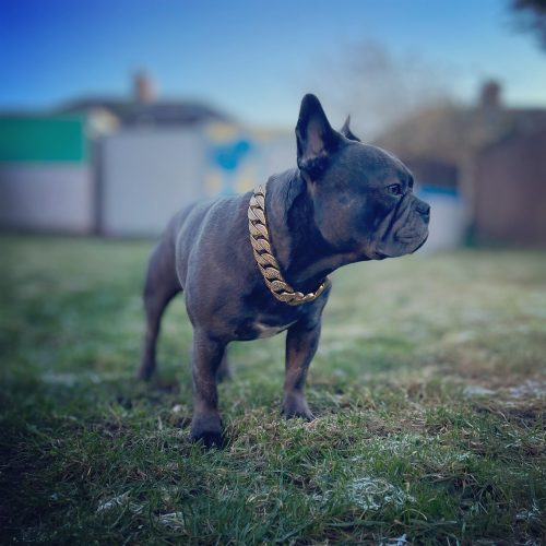 Gold Diamond Dog Chain photo review