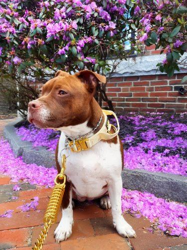 Cream Gold Series Dog Collar