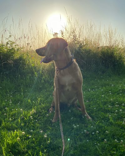 Rose Gold Spring Chain Dog Lead photo review